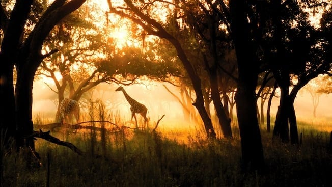 Giraffe in middle of woods with yellow backlighting