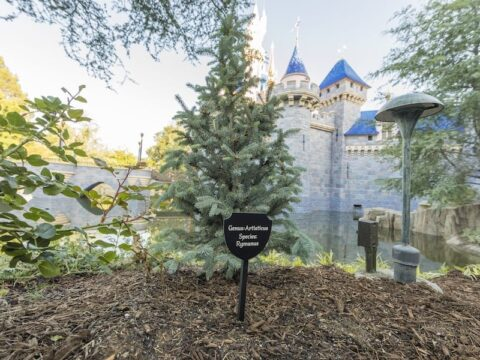 Black Sign outside of Sleeping Beauty's Castle, Sign Describes Type of Tree