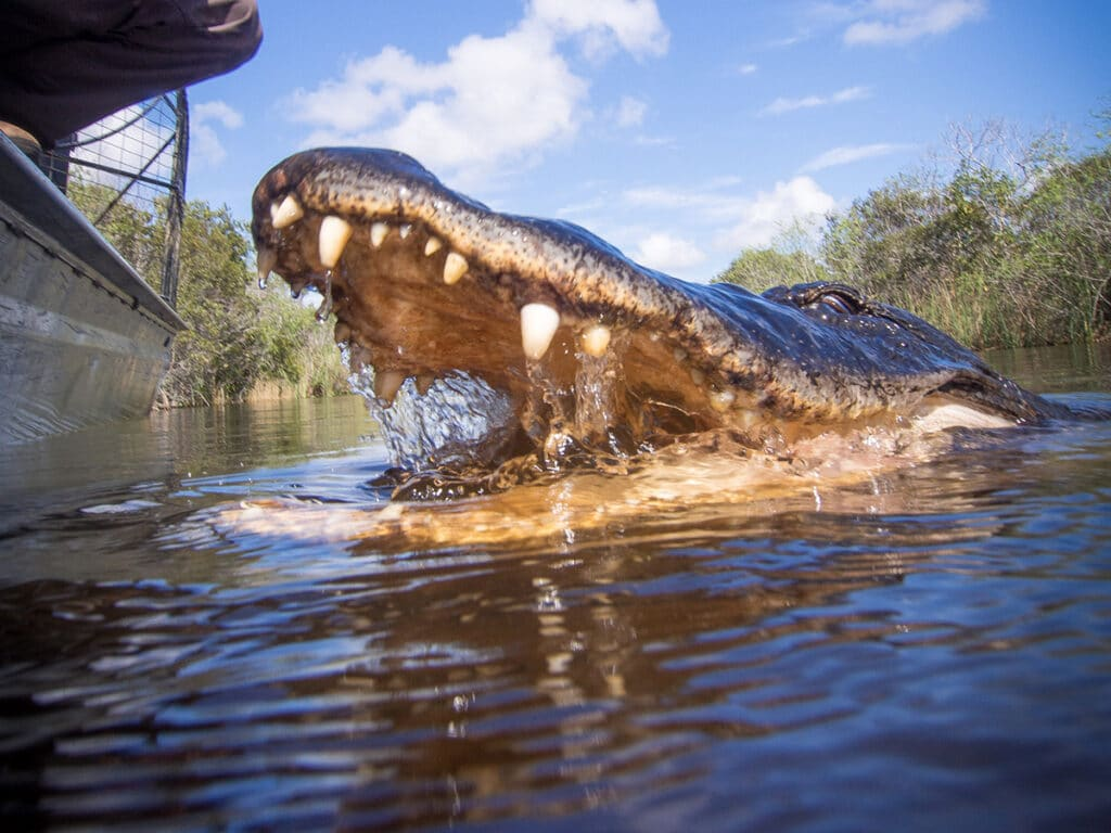Alligator in the water with mouth open