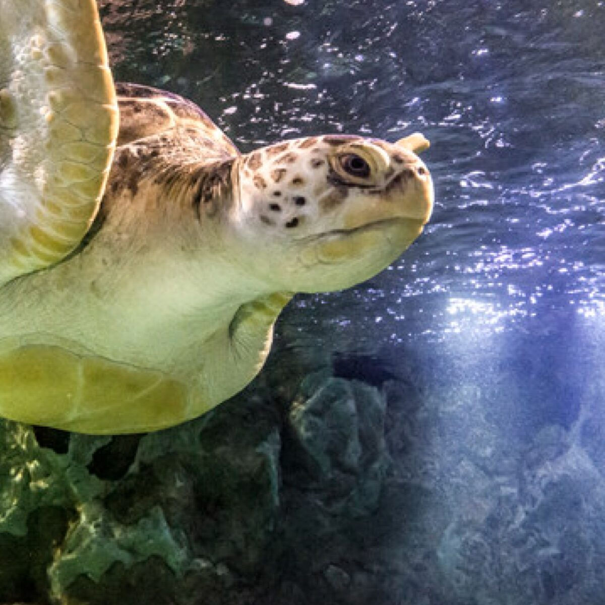 Sea Turtle in the water